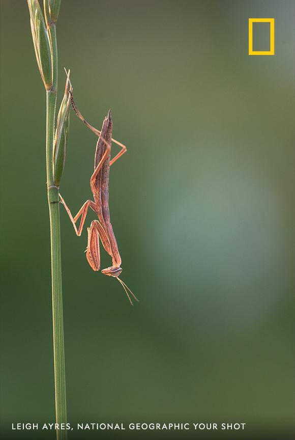 A praying mantis hangs out upside down in this charming image by Your Shot photographer Leigh Ayres. https://on.natgeo.com/2B8YreQ