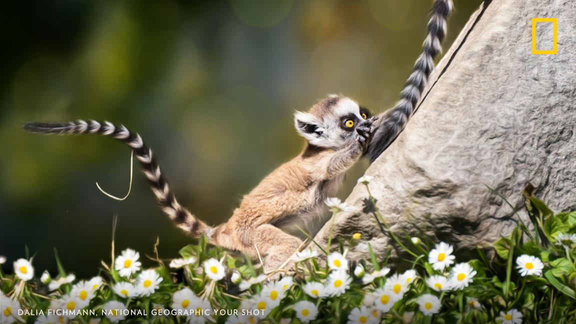 A ring-tailed lemur plays with another's tail in this image captured by photographer Dalia Fichmann in Switzerland. What are the ways that we all play? https://on.natgeo.com/2P9yGhH