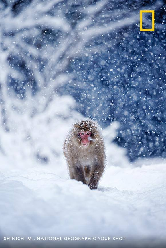 A young snow monkey walks out of the forest in the early morning—a moment frozen in time by photographer Shinichi M. https://on.natgeo.com/2oDsJxs