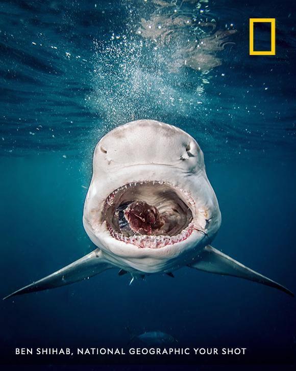"""A mouth of horrors, not because of its rows and rows of teeth,"" describes photographer Ben Shihab, ""but because practically every shark I saw while diving in Florida last month had a fish hook or two still stuck in their mouth."" https://on.natgeo.com/2oJoEYs"