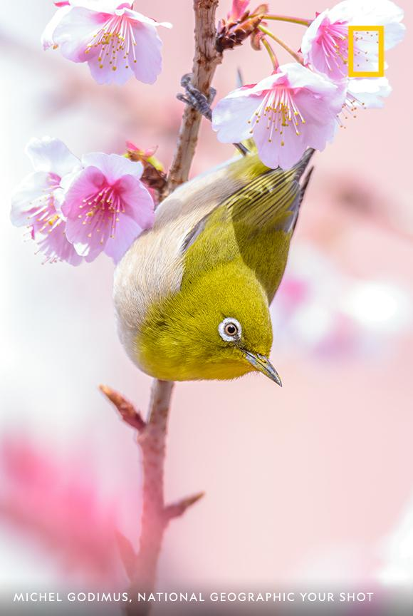 "A Japanese white-eye hangs out in a cherry blossom tree in this image captured by photographer Michel Godimus. He writes, ""The white-eye typically forms monogamous relationships with mates – it loves only one mate at one time."" https://on.natgeo.com/2xTuxYi"