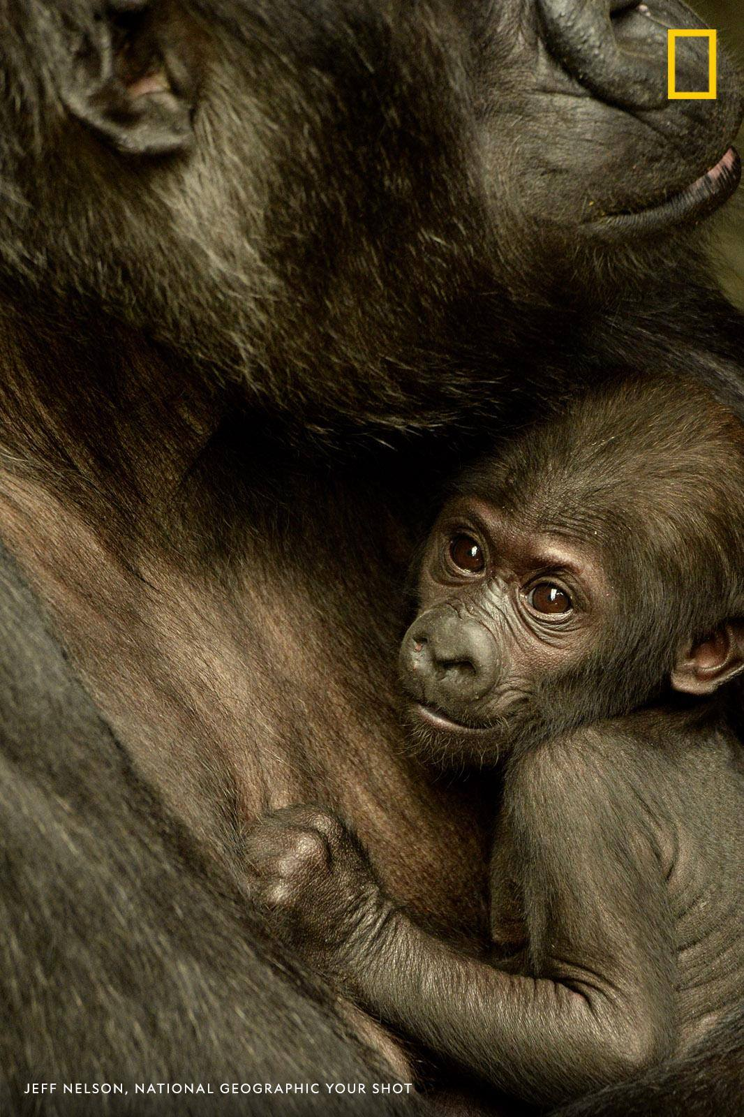 It's a full-time job watching over a baby gorilla, writes photographer Jeff Nelson who captured this portrait of Ali and her mom. https://on.natgeo.com/2QQwV9e