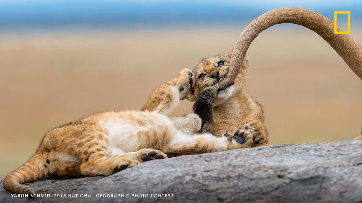 """We spotted a pride of lions sleeping on top of the kopjes in the Serengeti, and as we got closer to the rocks, we saw that there were quite a few cubs in that pride, writes photographer Yaron Schmid. ""The best moment was when 3 of the young cubs started chasing, playing and biting their mom's tail as if they were kittens that were playing with yarn."" Show us the world around you: https://on.natgeo.com/2O7UyIz"