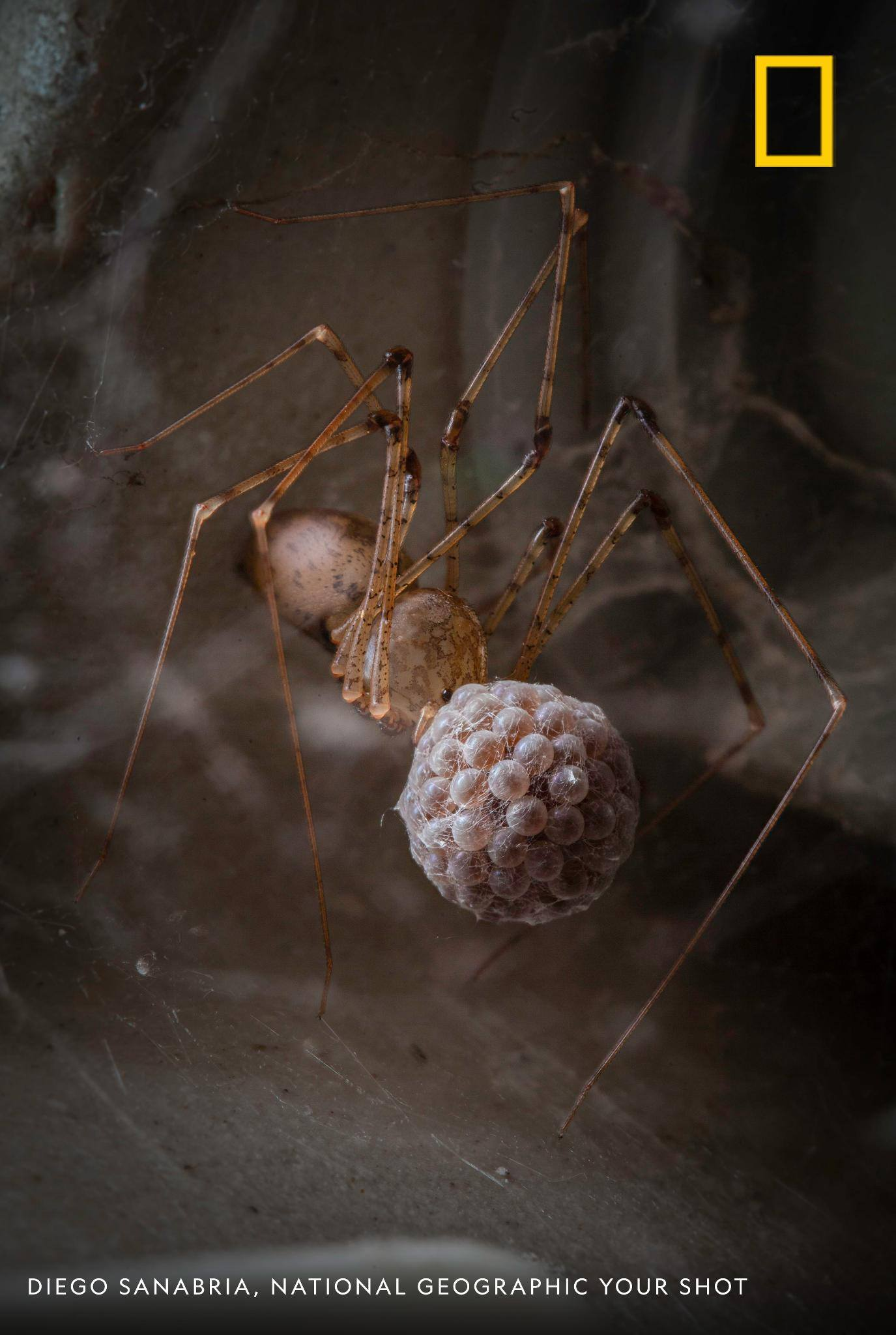 Under a sink in an abandoned bathroom in rural Colombia, photographer Diego Sanabria caught sight of this spider with her egg sac. She'll hold it in her mouth for several days until they hatch. https://on.natgeo.com/2OrBpRS