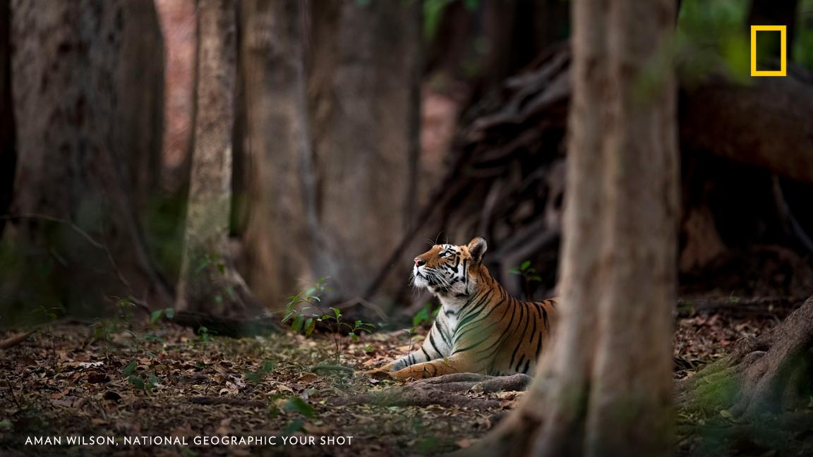 A tiger sits and calmly takes in its surroundings in this image captured by photographer Aman Wilson in Bandhavgarh, India. https://on.natgeo.com/2PZOlnR