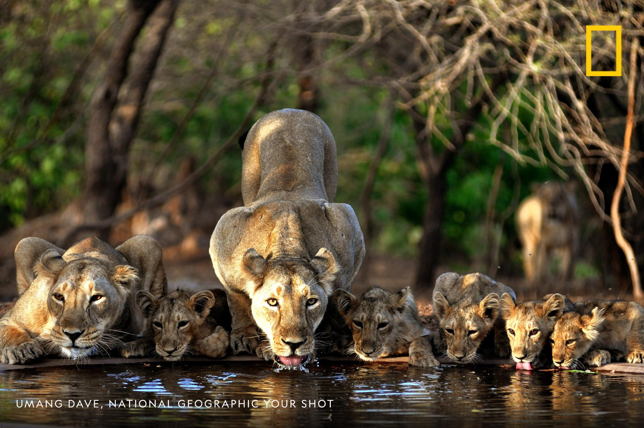"""The Asiatic lion or Indian Lion is a subspecies of the lion which survives today only in the Gir Forest of Gujarat, India,"" writes photographer Umang Dave. https://on.natgeo.com/2Q4mX8a"