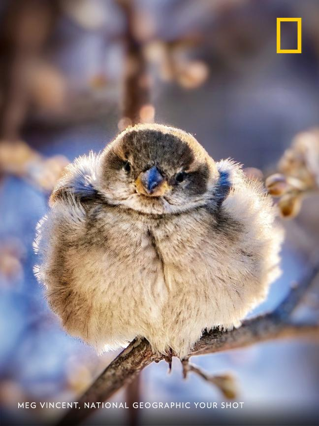 "Photographer Meg Vincent spotted this bird outside her home in subzero temperatures. ""It was all fluffed up in the cold to trap the air in its feathers to stay warm."" https://on.natgeo.com/2t3TMnM"