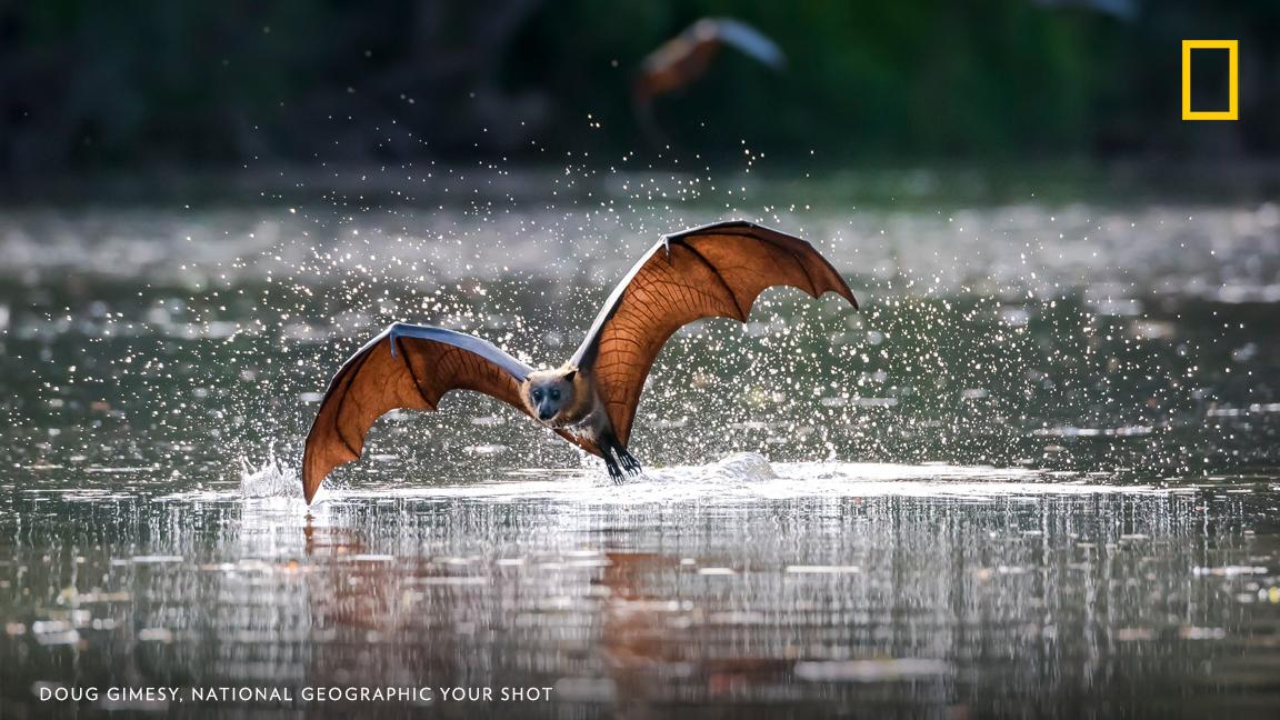 A grey-headed flying fox dips into the water in this moment captured by photographer Doug Gimesy. Dousing their fur provides water to drink and a form of evaporative cooling. https://on.natgeo.com/2D5NIzQ