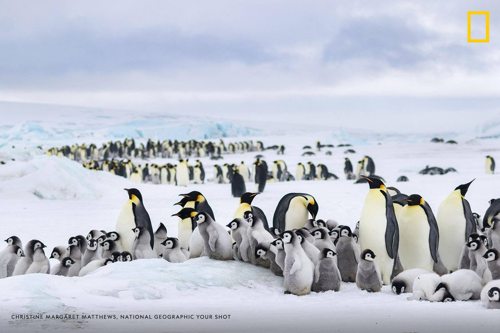 """After traveling to the ice sheet by helicopter, we had to walk about two miles to reach the Emperor penguin colony,"" writes photographer Christine Margaret Matthews. ""It was possible to hear the chicks before you actually got there."" https://on.natgeo.com/2Gr5Tnq"