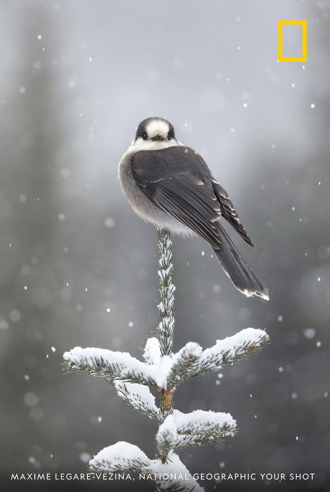 A gray jay poised on a branch seems to make eye contact with photographer Maxime Legare-vezina in this beautiful image taken during a snowstorm in Quebec. https://on.natgeo.com/2XrGZto