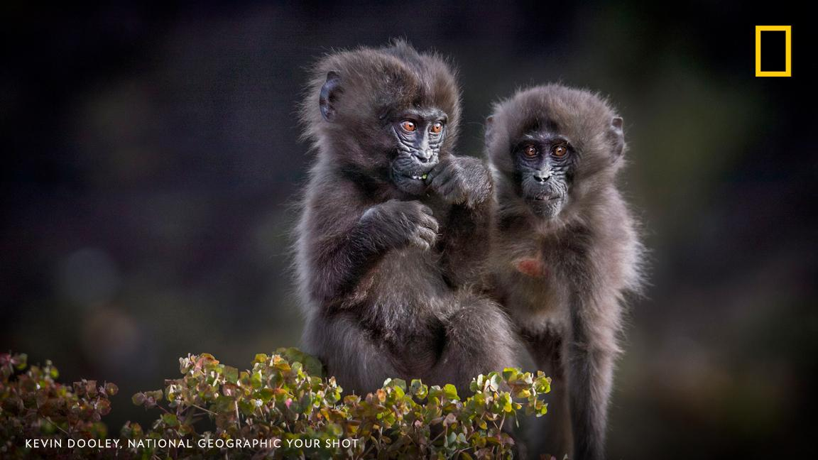 "Two young ""bleeding heart"" monkeys share a moment in this image taken by photographer Kevin Dooley in Ethiopia. https://on.natgeo.com/2GqLUFG"