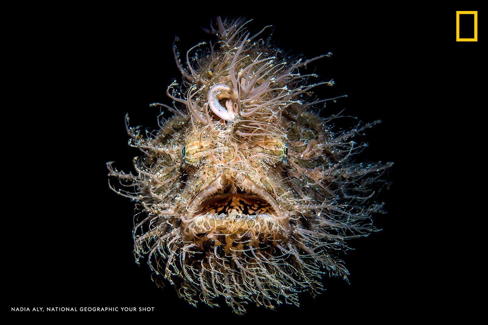 """The """"hairs"""" on a hairy frogfish are actually skin appendages or spinules, writes Your Shot photographer Nadia Aly, who captured this striking underwater portrait. https://on.natgeo.com/2V2fkNk"""