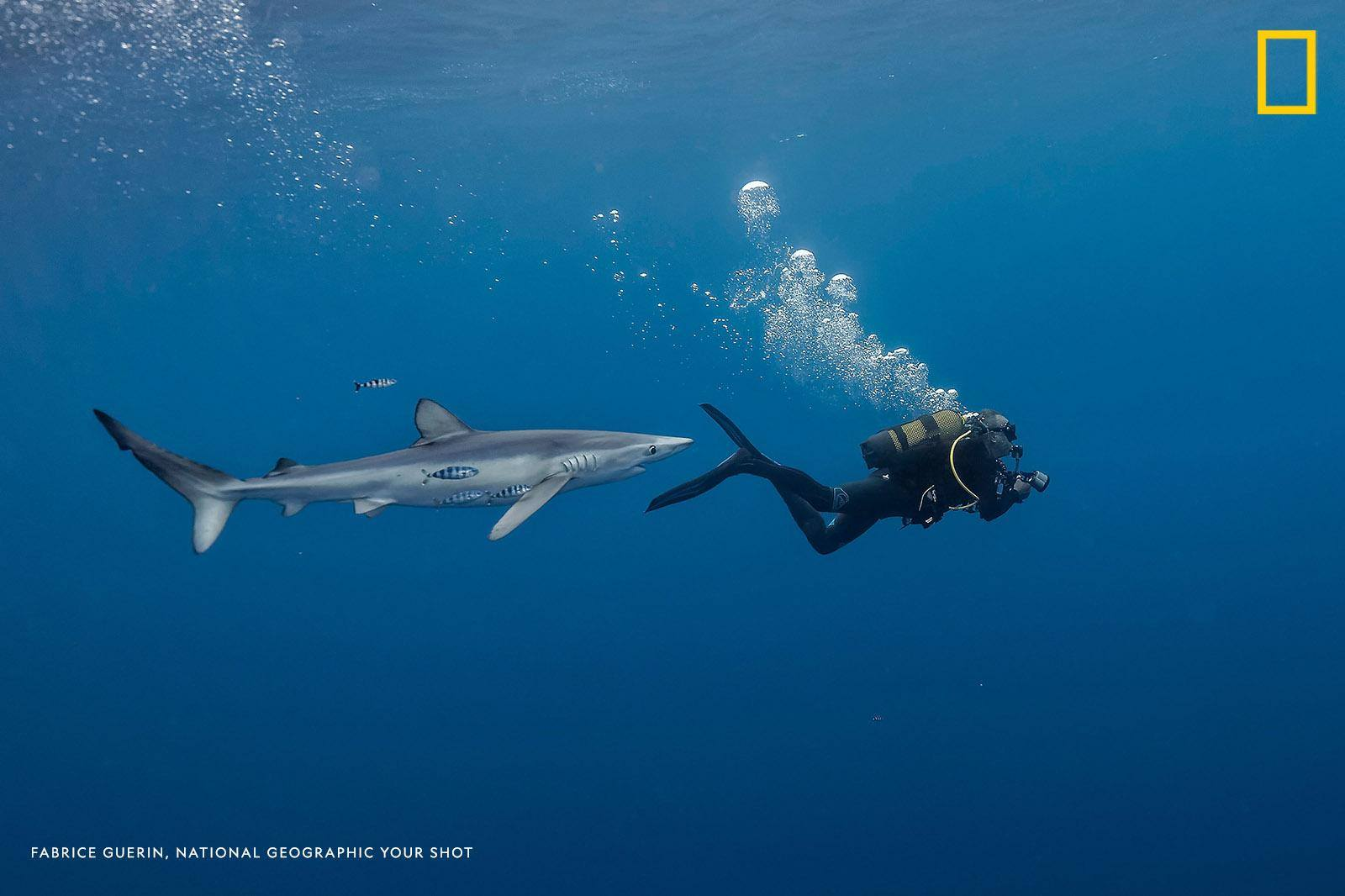 """When you take underwater pictures,"" writes photographer Fabrice Guerin ""sometimes you forget about the environment. This day, we looked for blue sharks when suddenly I saw one just behind my buddy. The blue shark was very curious and came very close, but there was no danger on this day."" https://on.natgeo.com/2Skwl3X"