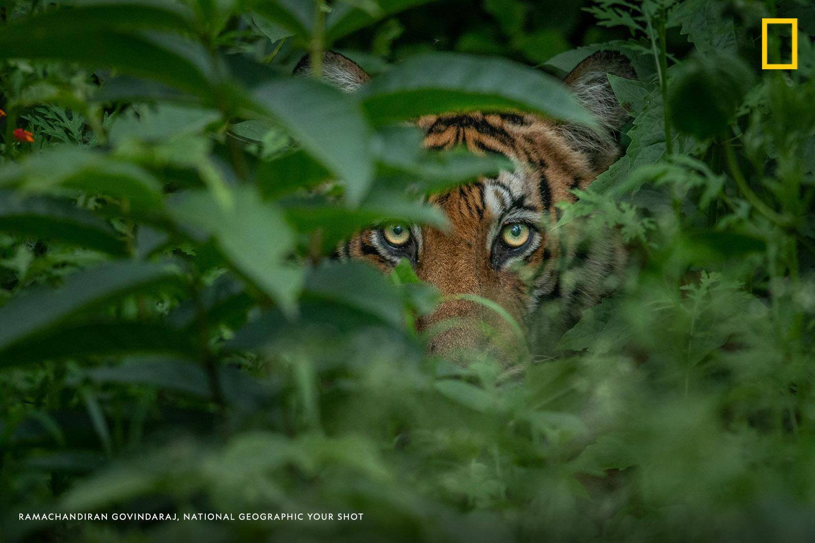 The yellow eyes of a watchful tiger peek through the leaves in this inspiring photo captured by Your Shot photographer Ramachandiran Govindaraj. https://on.natgeo.com/2DTi5Kh