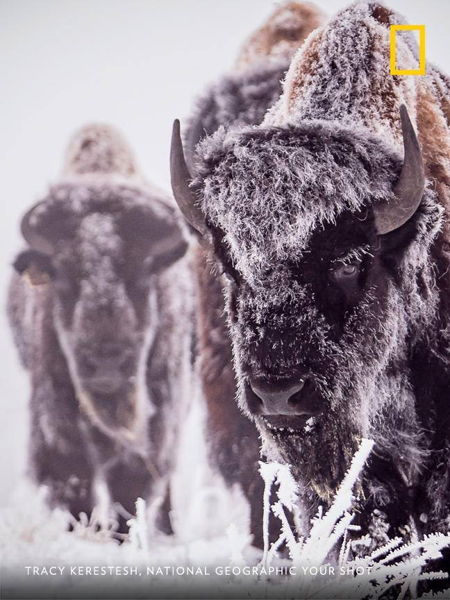 A bison bull walks through a frosty field in Saskatchewan, Canada, in this moment frozen by Your Shot photographer Tracy Kerestesh. https://on.natgeo.com/2V6LIhV
