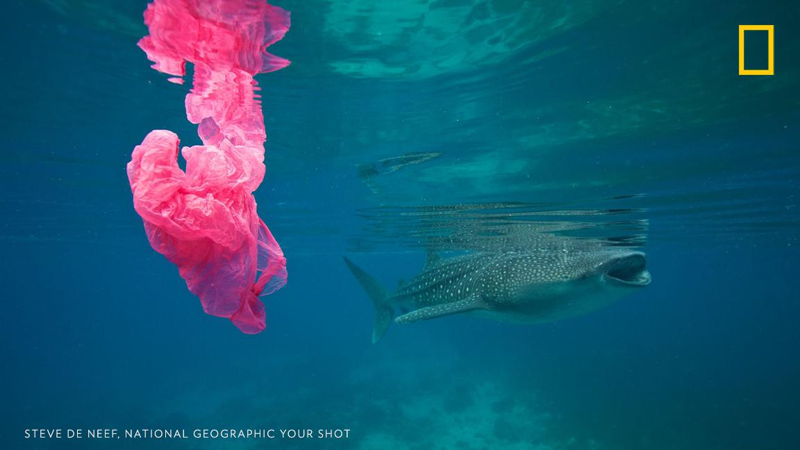 """""""A whale shark filter feeds near a floating plastic bag, an all too common sight nowadays,"""" writes photographer Steve De Neef. Will you resolve to use less plastic this year? https://on.natgeo.com/2XdpsoK #PlanetOrPlastic"""
