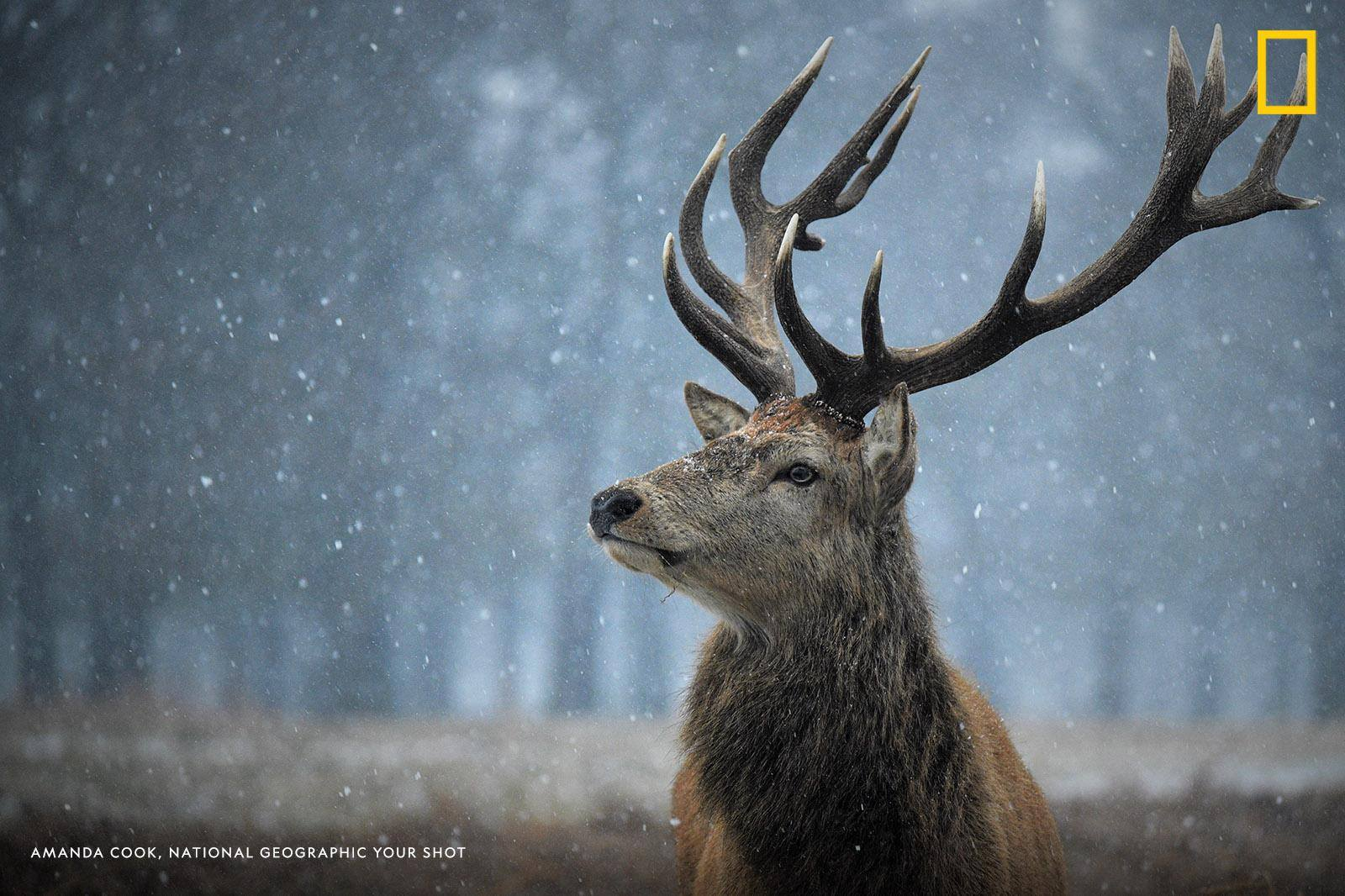 "A stag lifts his head in Bushy Park, London, to look at a nearby dog walker. ""[I was] incredibly lucky to catch this stag looking majestic in the snow,"" Your Shot photographer Amanda Cook writes. https://on.natgeo.com/2EG8BT2"