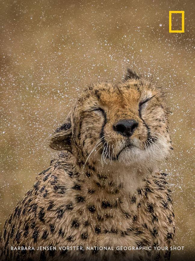 A cheetah in the Maasai Mara shakes during a rain shower in this charming moment captured by Your Shot photographer Barbara Jensen Vorster. https://on.natgeo.com/2HoNPtS