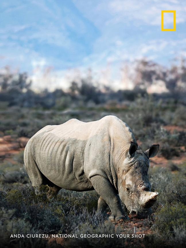 The horn on this male rhino, photographed by Your Shot photographer Anda Ciurezu, was replaced with a synthetic replica—a strategy aiming to deter poachers. https://on.natgeo.com/2TcsA0x