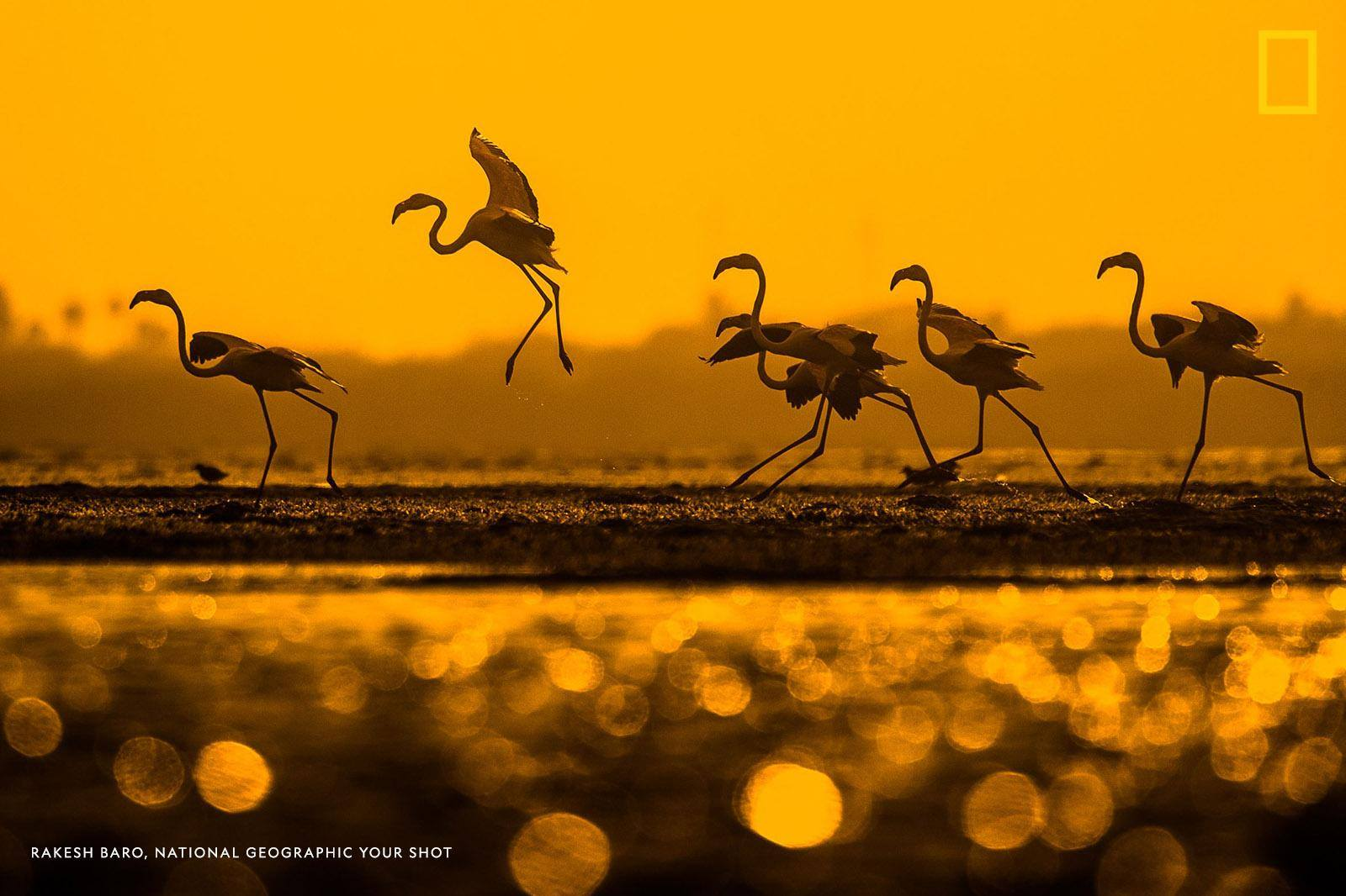 Your Shot photographer Rakesh Baro spent hours sitting in the water while photographing these flamingos in India to capture just the right perspective and the sun reflecting off the water. https://on.natgeo.com/2WbchDb