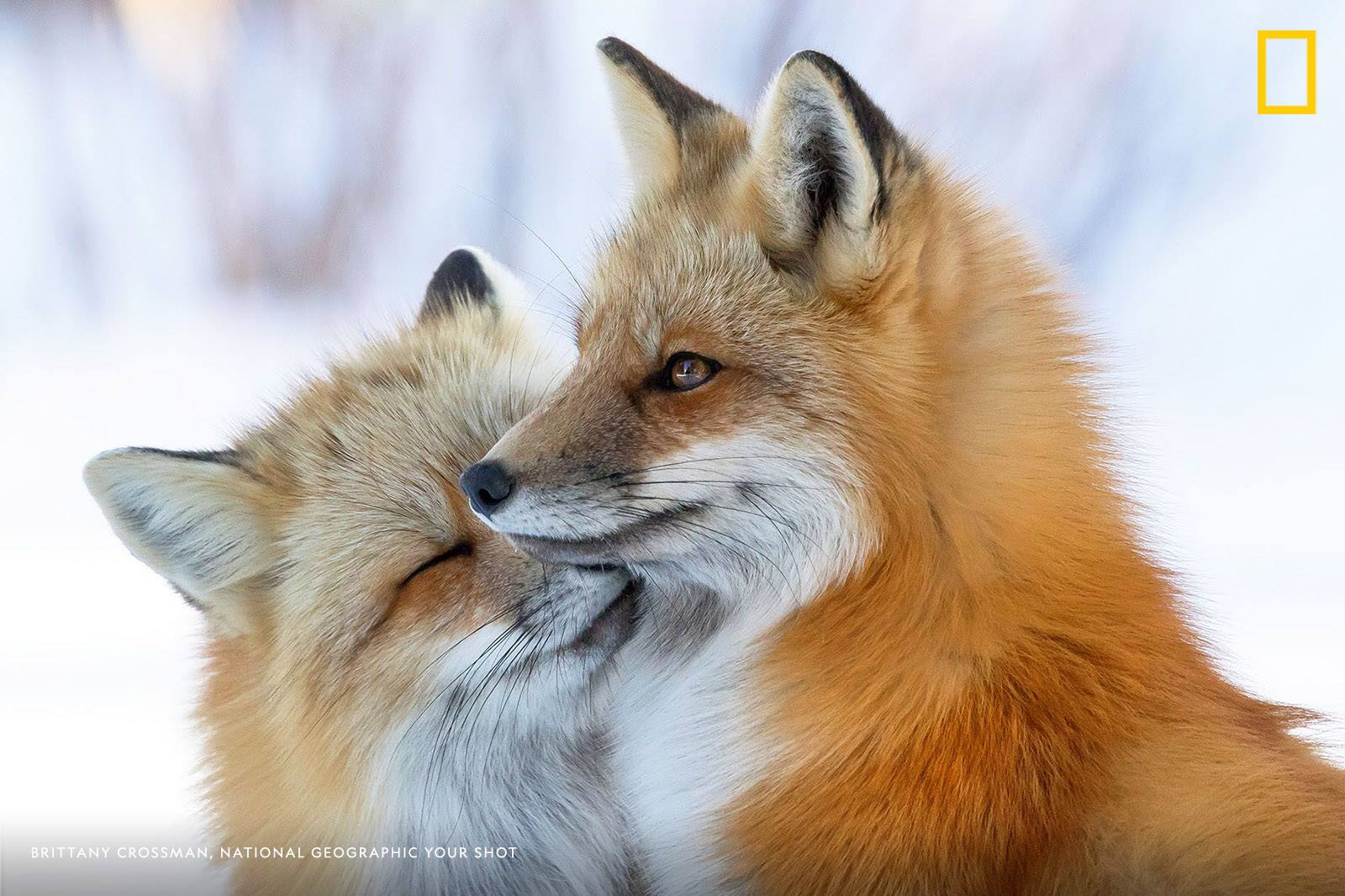 Your Shot photographer Brittany Crossman captured the moment these two red foxes cozy up on the East coast of Canada. https://on.natgeo.com/2OnnU7l