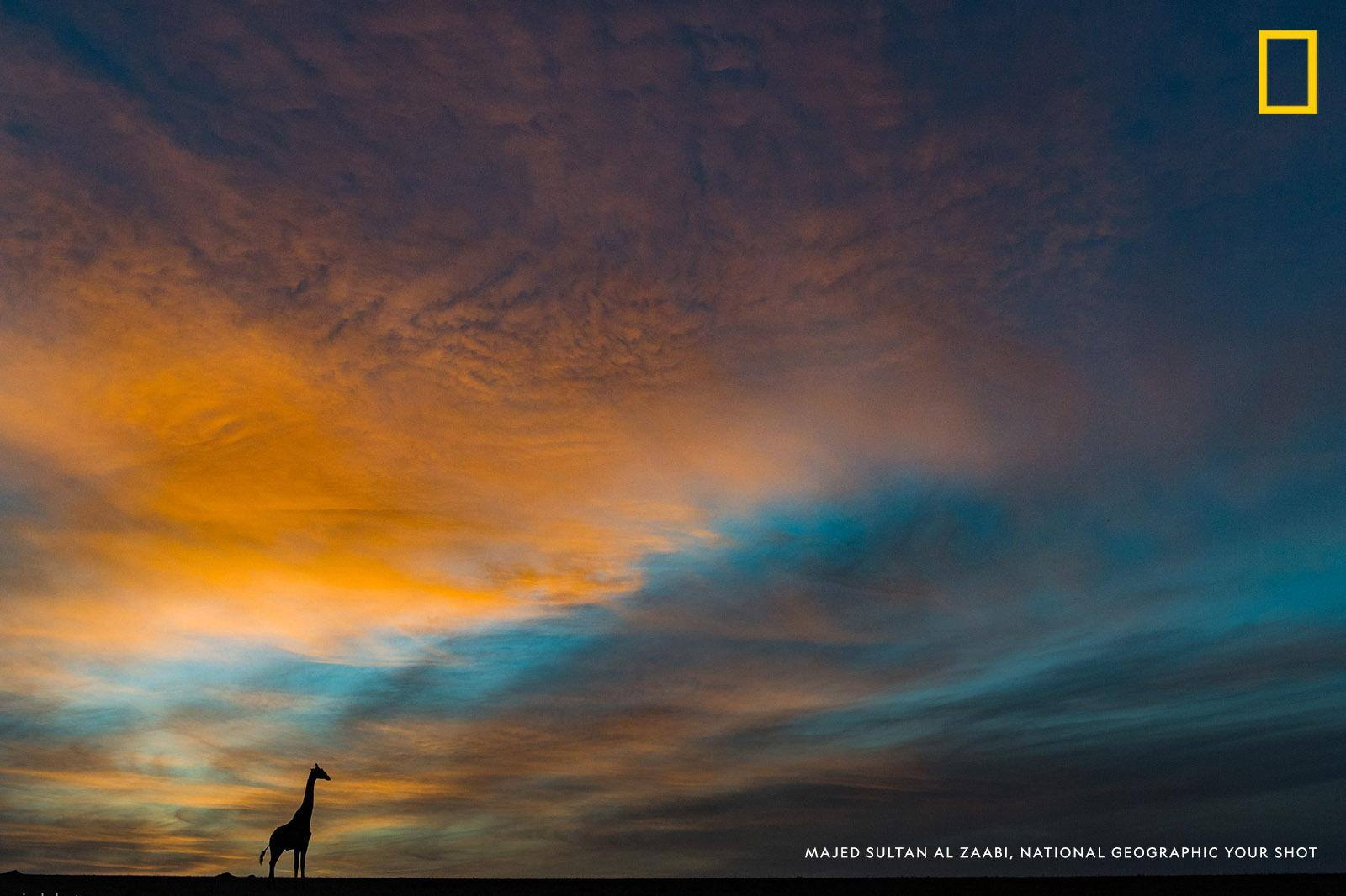 A giraffe is silhouetted against a gorgeous sunrise in Masai Mara National Reserve, Kenya in this photo by Your Shot photographer Majed Al Zaabi. https://on.natgeo.com/2UjFlLr