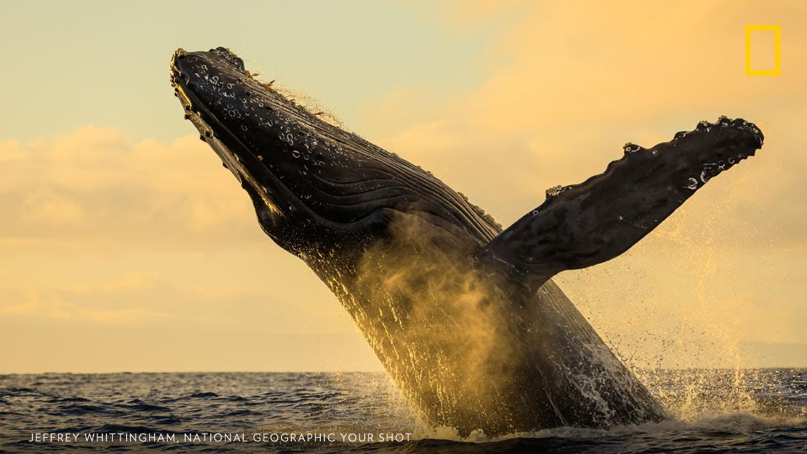 """It is an understatement that the whale activity was incredible!"" writes Your Shot photographer Jeffrey Whittingham of this moment captured off the coast of Maui. https://on.natgeo.com/2IdlM1d"