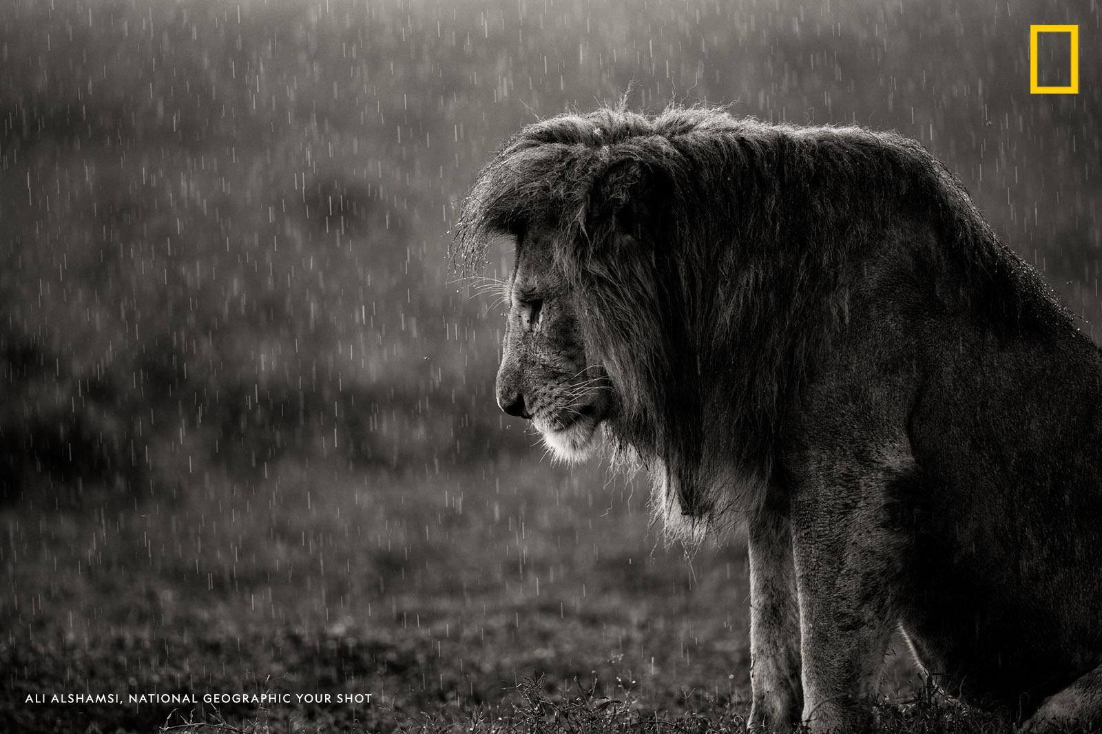 """Your Shot photographer Ali Alshamsi captured this dramatic image of a lion resting in the rain in Tanzania. """"I usually never see lions in a pose like this,"""" writes senior producer Matt Adams. https://on.natgeo.com/2UKvuie"""