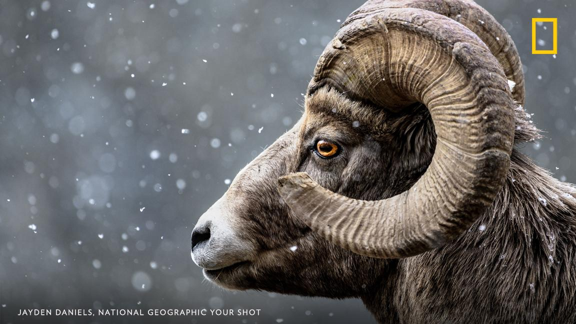 Your Shot photographer Jayden Daniels photographed this bighorn sheep during snowfall near Banff, Canada. https://on.natgeo.com/2UpwG6n