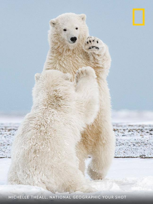 "In Kaktovik, Alaska, Your Shot photographer Michelle Theall captured this image of two cubs playing in the snow. ""I was fortunate to grab this high-five moment, among so many other favorites."" https://on.natgeo.com/2KWvXKr"