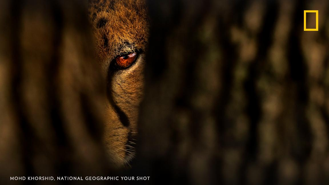 """We all know the cheetah is the fastest animal on the planet, but not everyone knows that the tear marks under their eyes help reflect the glare of the sun while the cheetahs are hunting during the day,"" writes Your Shot photographer Mohd Khorshid. https://on.natgeo.com/2GmldiN"
