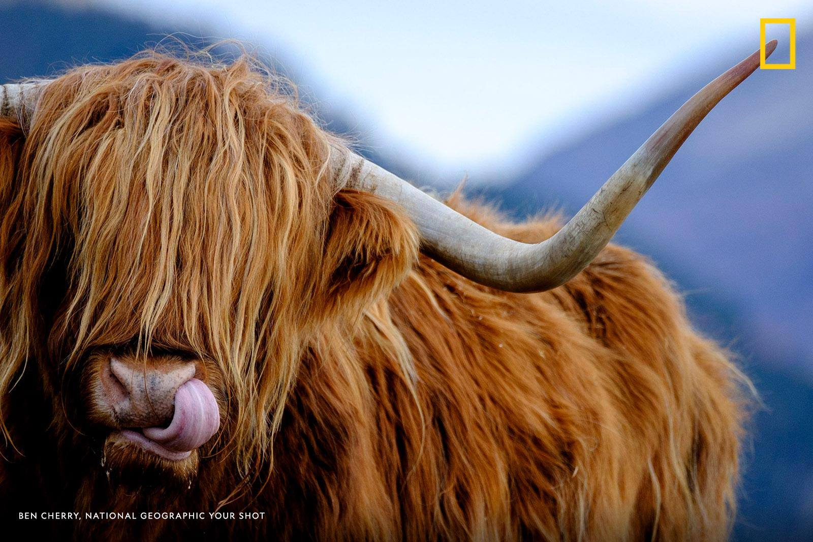 Your Shot photographer Ben Cherry captured this amusing scene as a highland cattle licks its nose on a cold morning in the Isle of Skye, Scotland.