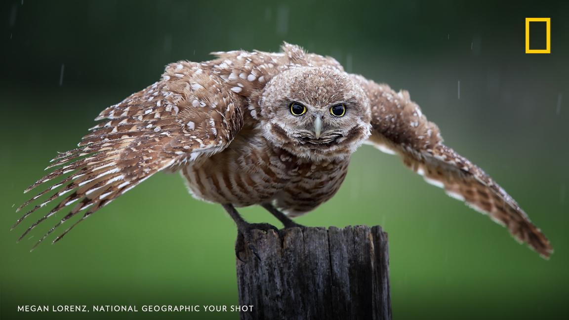Your Shot photographer Megan Lorenz photographed this burrowing owl during a rain shower in Florida. https://on.natgeo.com/2GXKxgR