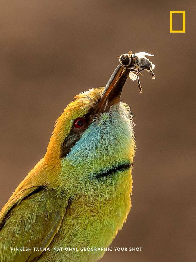 Your Shot photographer Pinkesh Tanna captured this moment as a green bee-eater makes a morning catch. https://on.natgeo.com/2WH3Znu