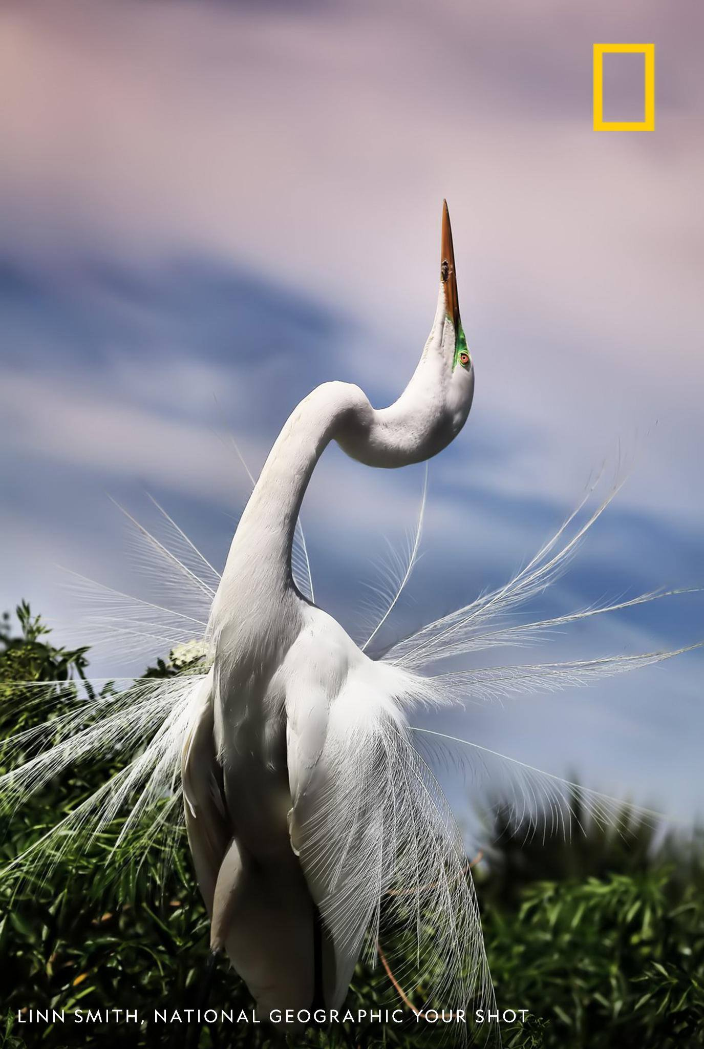 The courting ritual of a Great Egret involves flexing its neck back with its gorgeous nuptial plumes shaking as it undulates its neck, writes Your Shot photographer Linn Smith. https://on.natgeo.com/2JgL0wW