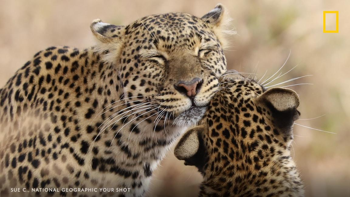 """In Tarangire Park, Tanzania, a cub and its mother share an early morning meal """"oblivious to us watching from a safe distance,"""" writes Your Shot photographer Sue C. https://on.natgeo.com/2w9JO5E"""