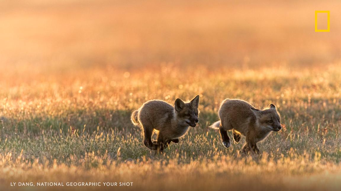 Playful red fox kits chase each other on the prairie at sunset in this moment documented by Your Shot photographer Ly Dang. https://on.natgeo.com/2QHrLgH