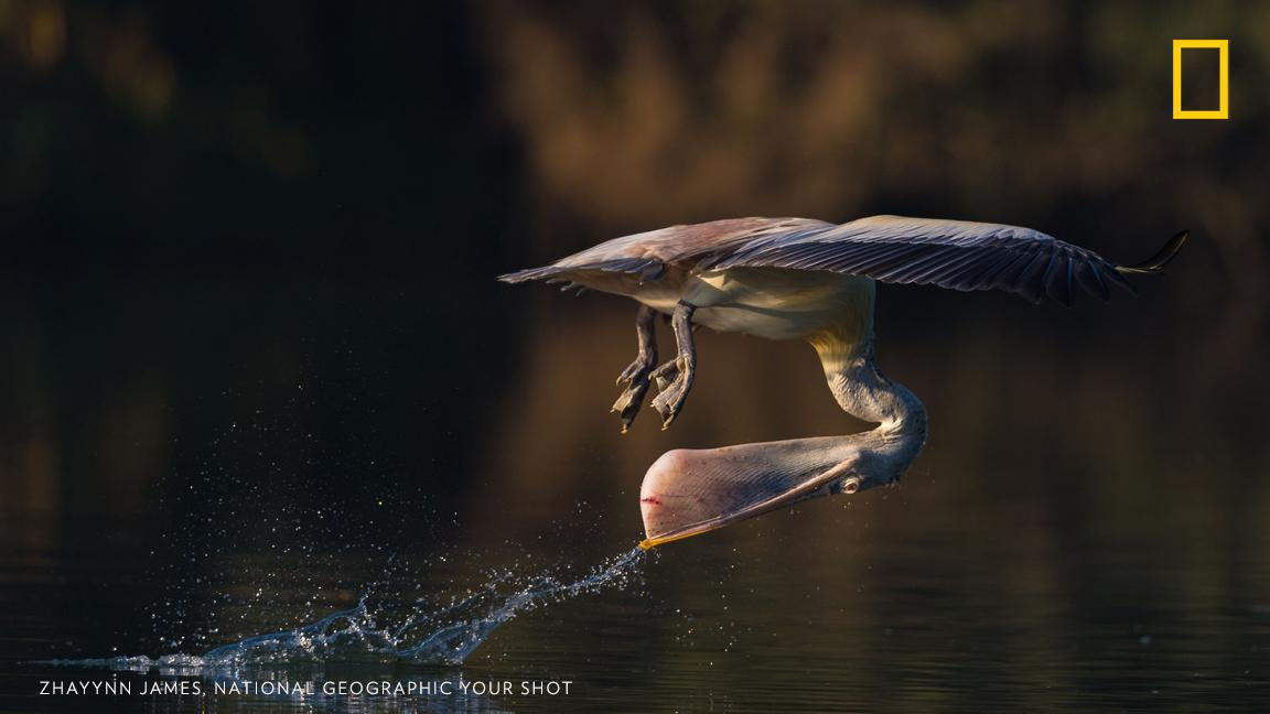 """This spot-billed pelican that lives along the the Kaveri river, at the Ranganathittu Bird Sanctuary demonstrates a very interesting way of getting a drink,"" writes Your Shot photographer Zhayynn James. https://on.natgeo.com/2XgW7JH"