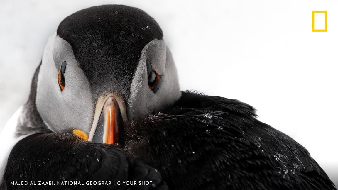 Your Shot photographer Majed Al Zaabi photographed this puffin tucking its beak into its feathers in Norway. https://on.natgeo.com/2Z8YTAT