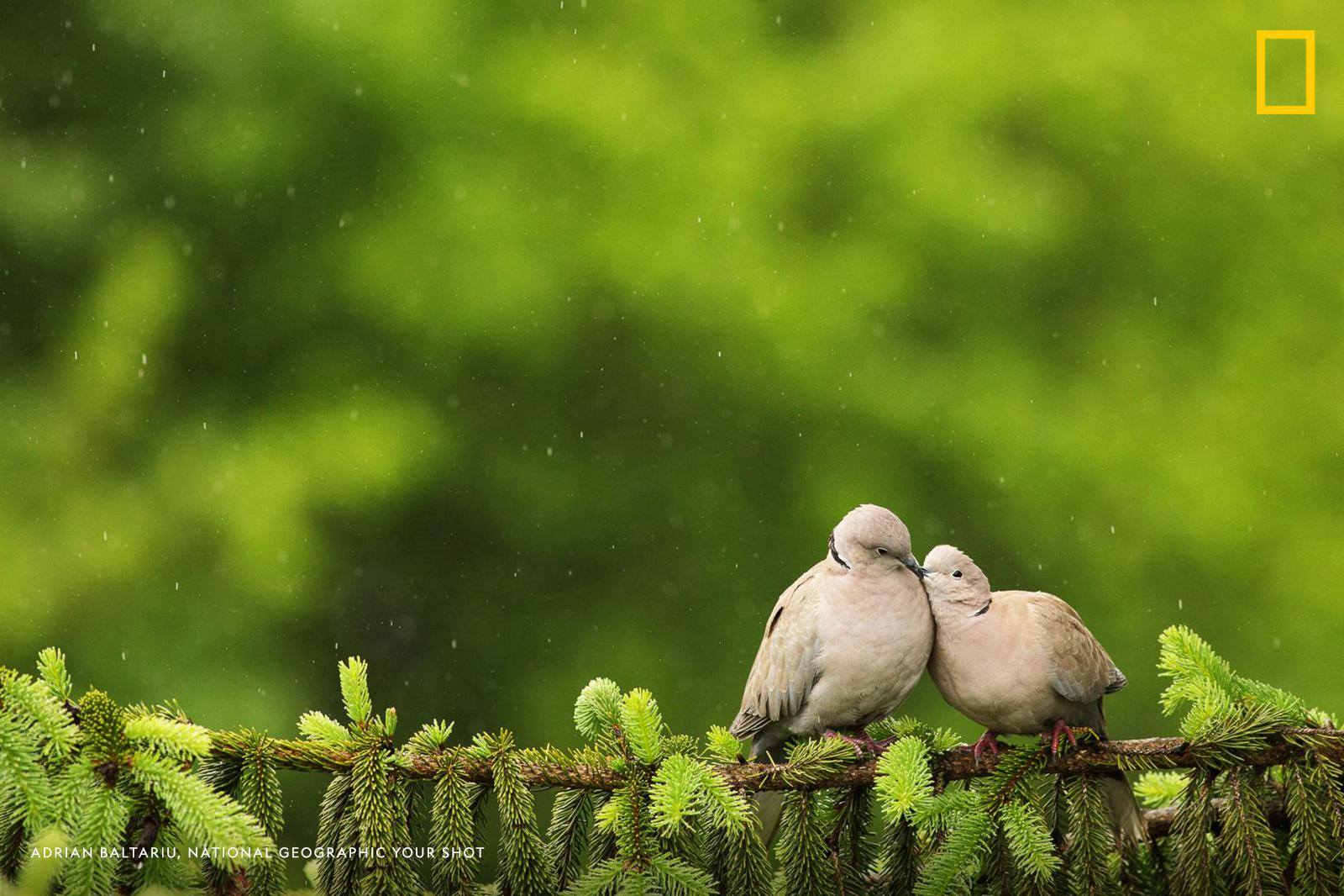 Your Shot Photographer Adrian Baltariu captured this wonderful moment of two doves cuddling on a tree branch in the rain. https://on.natgeo.com/2XxfYEu