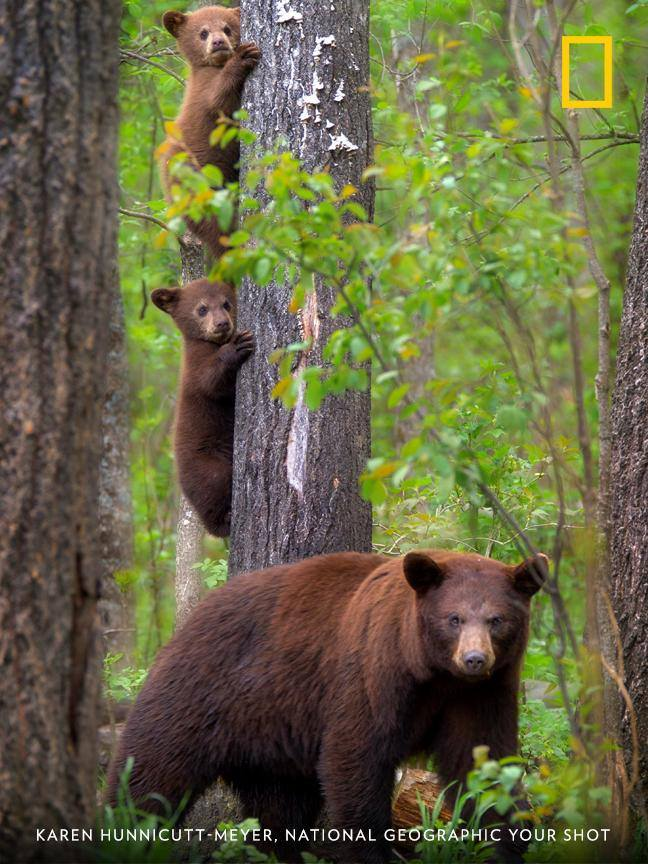 Your Shot photographer Karen Hunnicutt-Meyer documented this mother bear with her cubs in the Northwoods near Orr, Minnesota. https://on.natgeo.com/2MDq31t