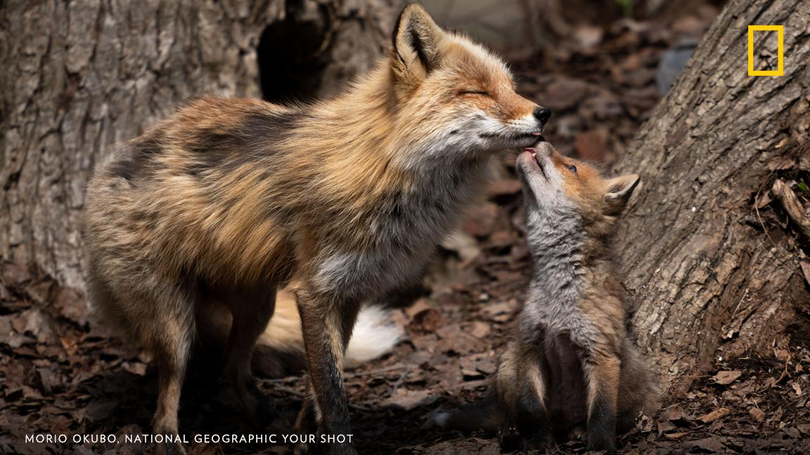 A fox kit shows affection for its mother in this sweet image captured by Your Shot photographer Morio Okubo in Asahikawa, Japan. https://on.natgeo.com/2F9QSEj