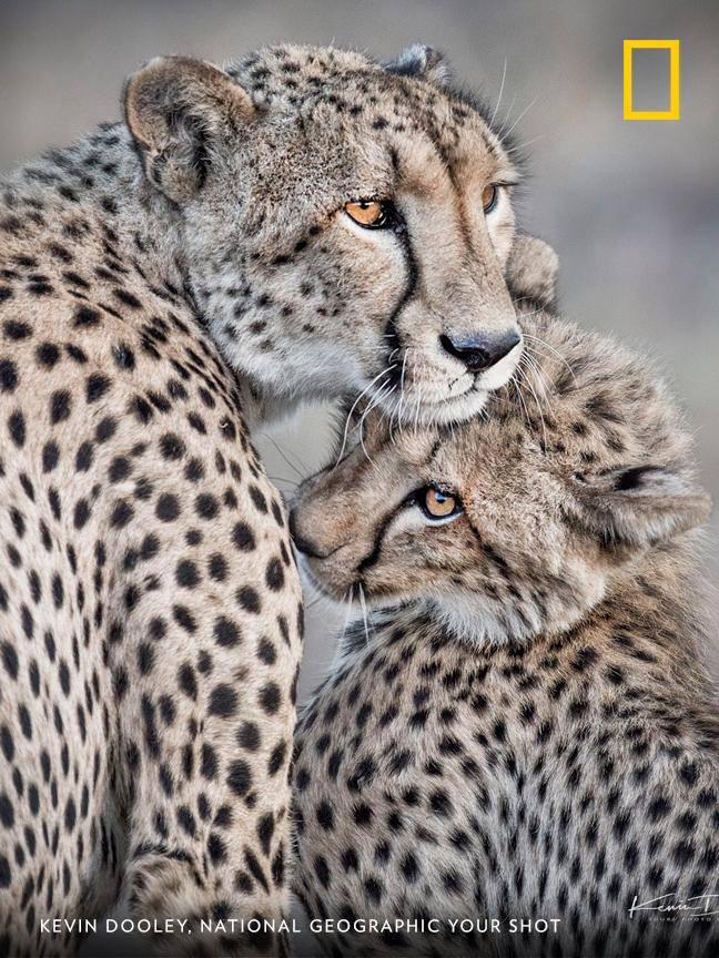 Your Shot photographer Kevin Dooley documented this tender moment between a mother cheetah and her cub. https://on.natgeo.com/2X8uRvP