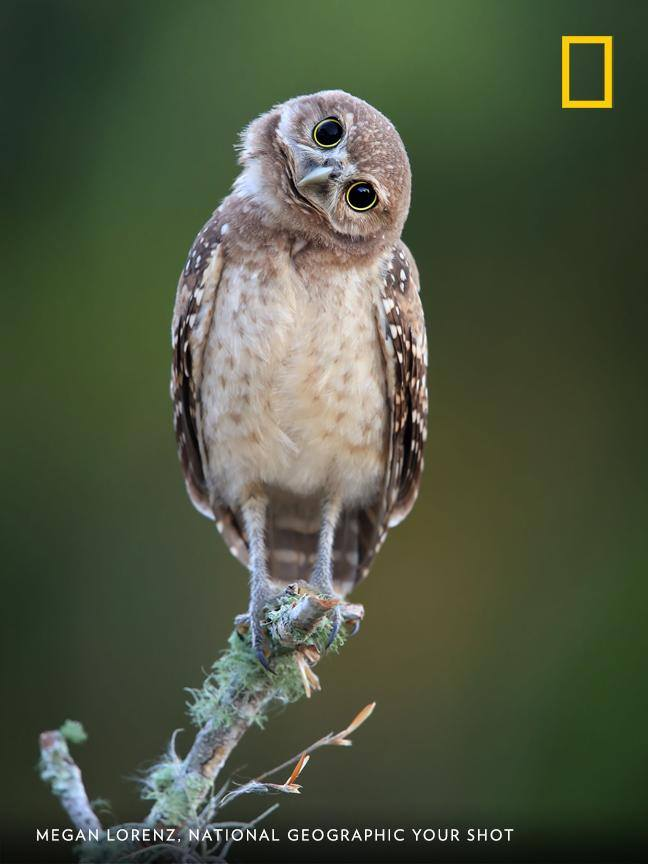 Your Shot photographer Megan Lorenz captured this charming portrait of a burrowing owlet in Florida. How would you caption this photo? https://on.natgeo.com/2Xjpk5U