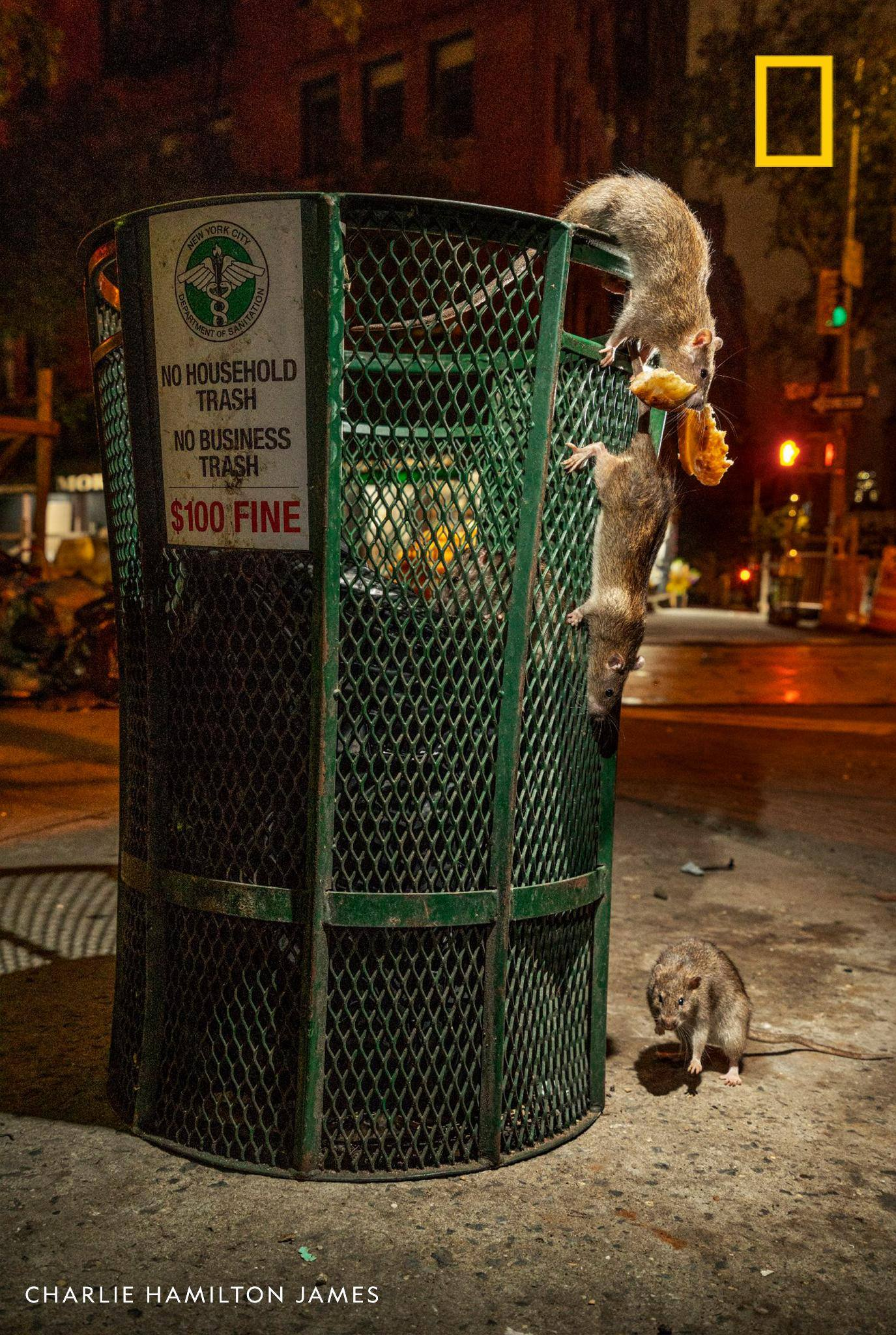 "Rats have adapted over the millennia to survive and thrive in human company, much to our amazement and disgust. Meet an urban rodentologist in our podcast ""Overheard""—and maybe gain a new appreciation for these resilient creatures. https://on.natgeo.com/2Xxu9fZ"