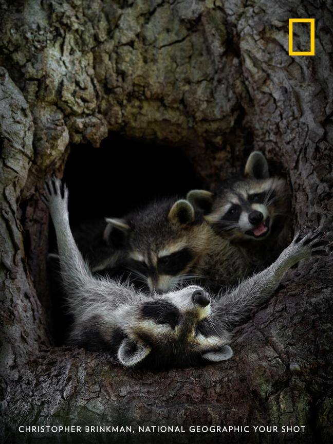 Your Shot photographer Christopher Brinkman documented this family of raccoons in a tree, capturing a special moment as the mother nurses two kits. https://on.natgeo.com/2XvpLdf