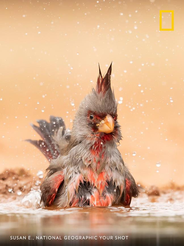 Your Shot photographer Susan E. documented this pyrrhuloxia, also known as a desert cardinal, as it took a soak on a hot day in southern Texas. https://on.natgeo.com/2XvFmJI