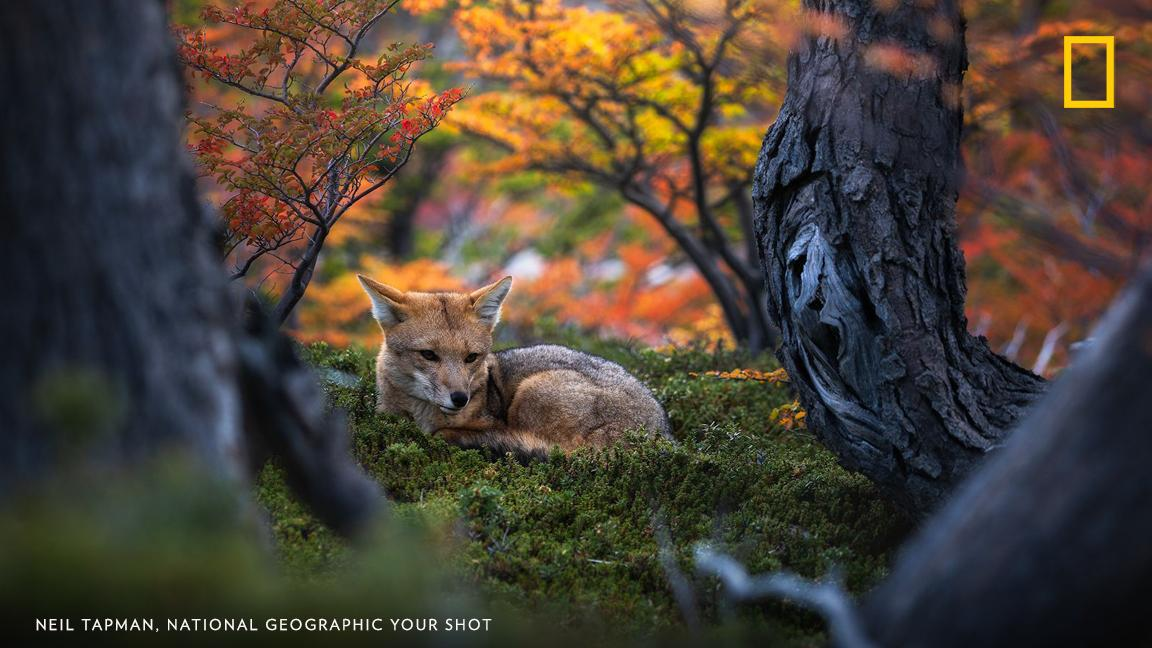 Your Shot photographer Neil Tapman photographed this Patagonian fox near El Chalten, Argentina. https://on.natgeo.com/30rb78T