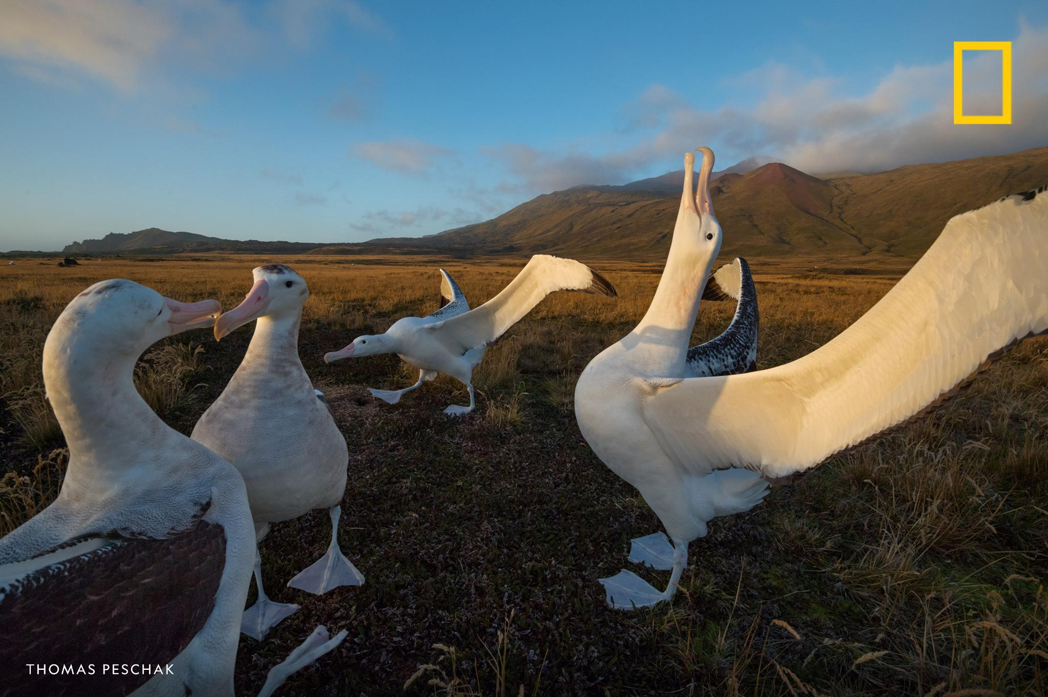 "Tiny mice are feasting on the heads of live albatross chicks on a sub-antarctic island. Why? Find out in the latest episode of ""Overheard."" https://on.natgeo.com/32kI2hd"