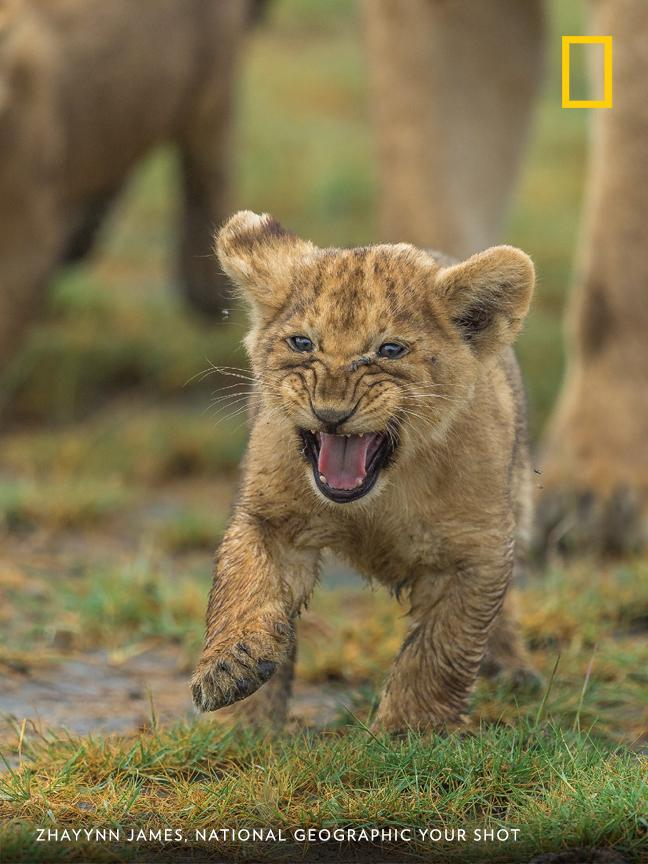 """This little one marked itself as a future leader, fearless and leading from the front,"" writes Your Shot photographer Zhayynn James of an encounter with a pride of lions in the Ngorongoro Conservation Area. https://on.natgeo.com/30RDNIs"